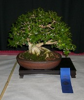 Eagle Creek Bonsai Llc In Indianapolis Selling Bonsai Trees Pots Tools Eagle Creek Bonsai Llc